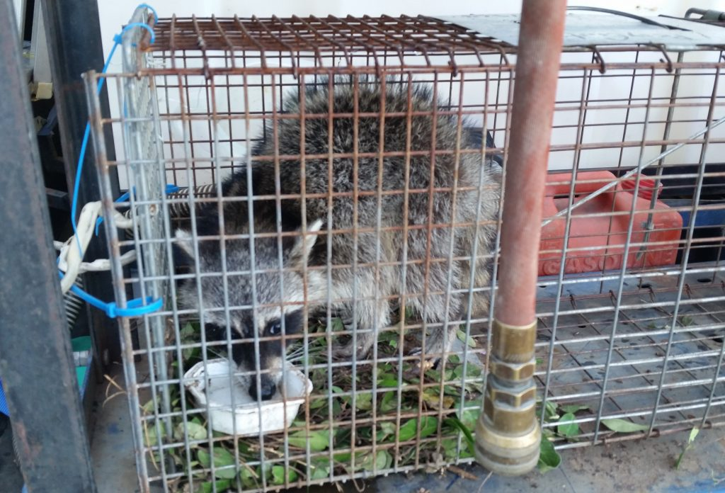 Prevent Raccoon Infestation