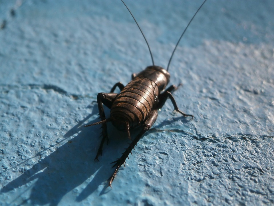 Crickets: What to do When Insect Populations Get Out of Control