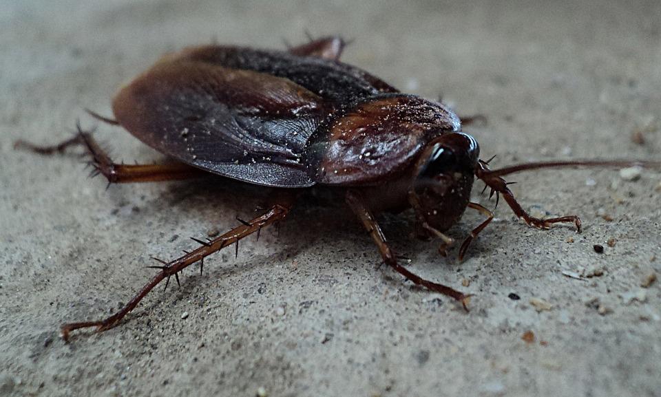 cockroach pest control - American cockroach
