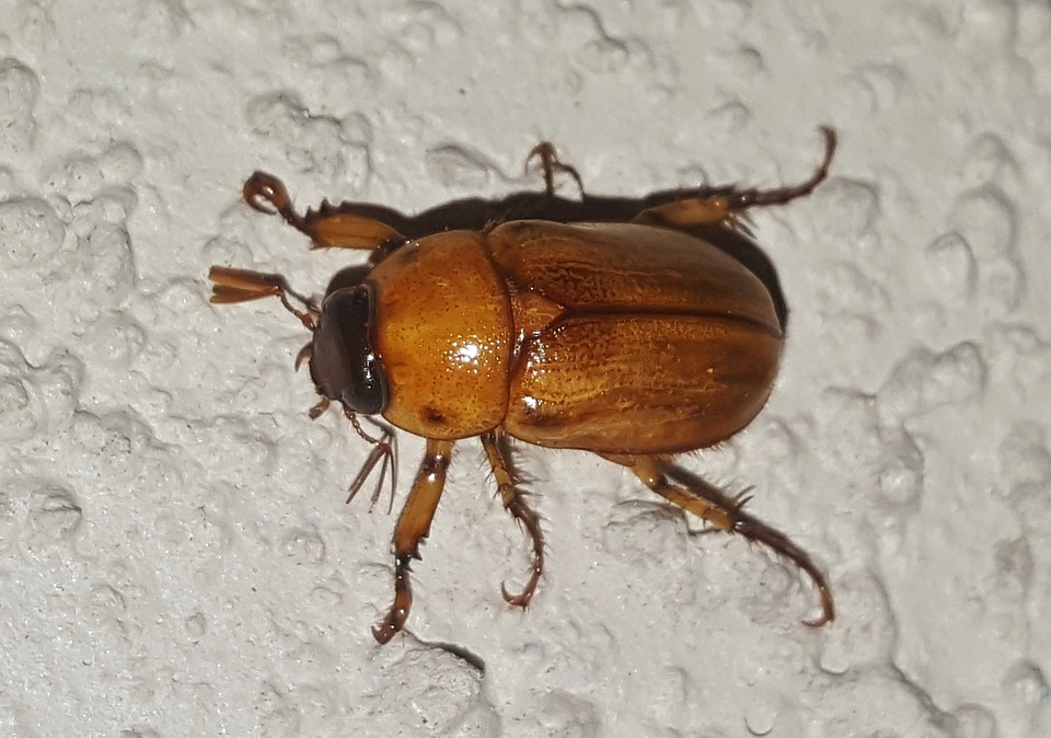 June Beetles: What to do When Insect Populations Get Out of Control