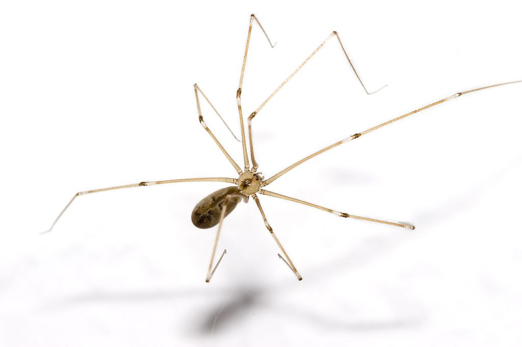 common spiders in Bryan/College Station - cellar spider