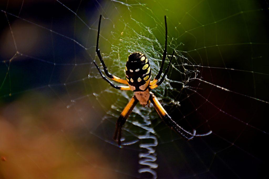 common spiders in Bryan/College Station - garden spider