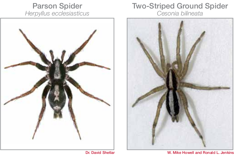 common spiders in Bryan/College Station - ground spiders