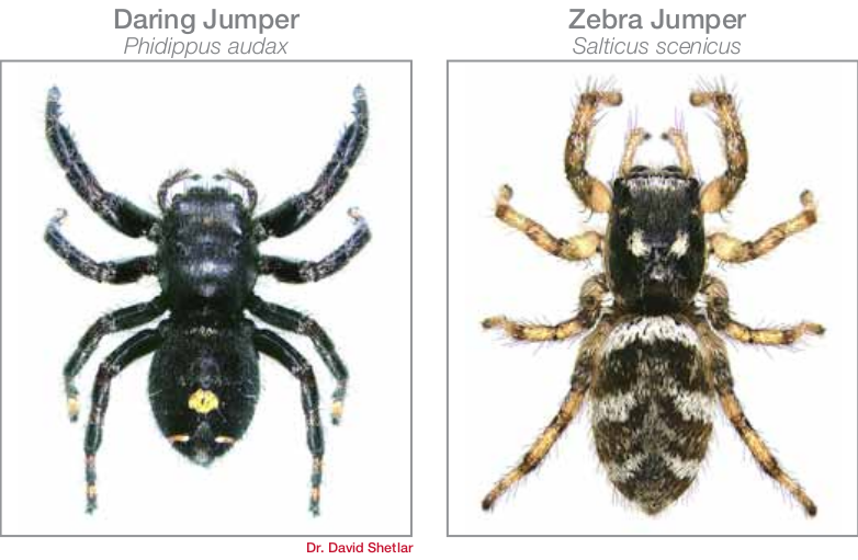 common spiders in Bryan/College Station - jumping spiders