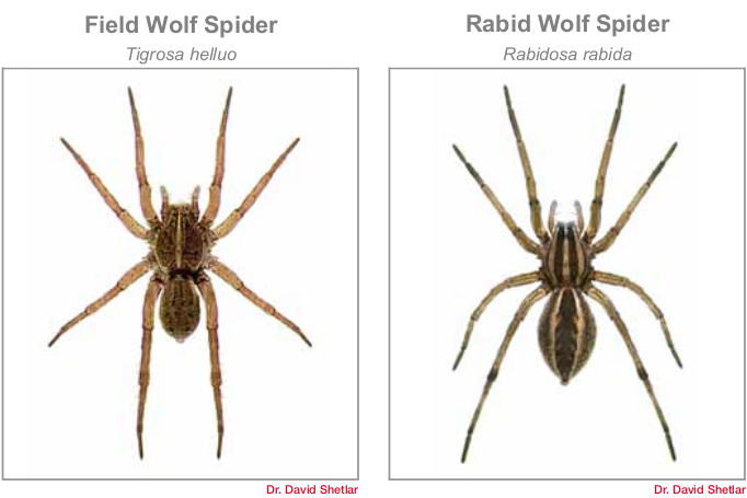 common spiders in Bryan/College Station - wolf spiders