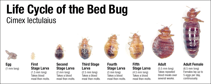 Where do bed bugs come from?