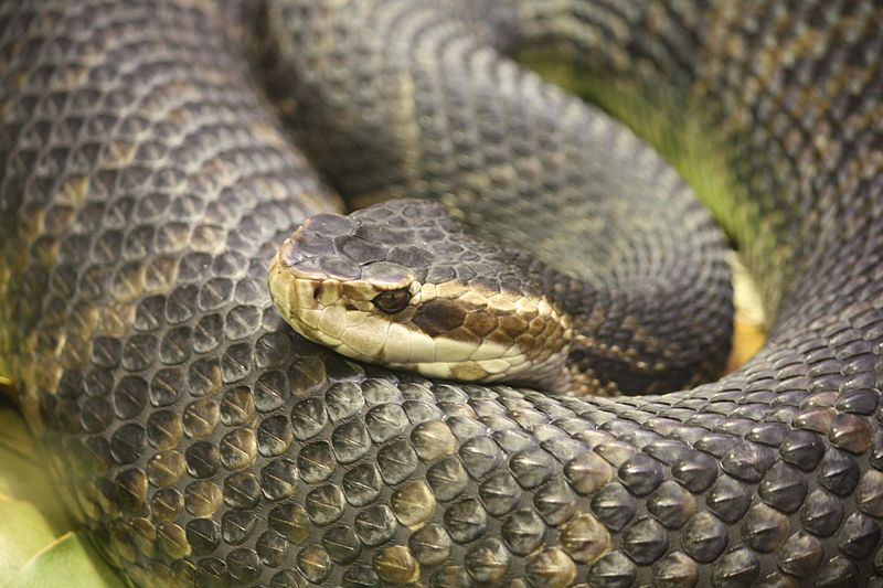 common snakes in Brazos County - water moccasins