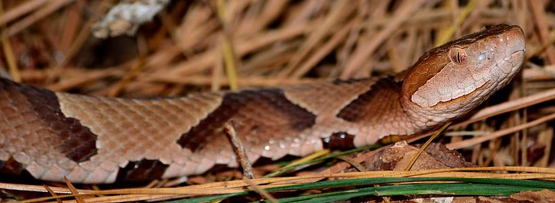 common snakes in Brazos County - copperheads