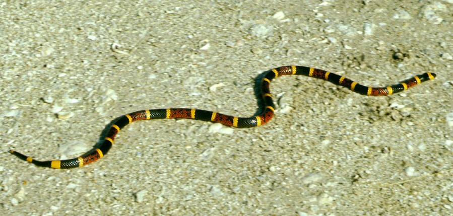 common snakes in Brazos County - coral snakes