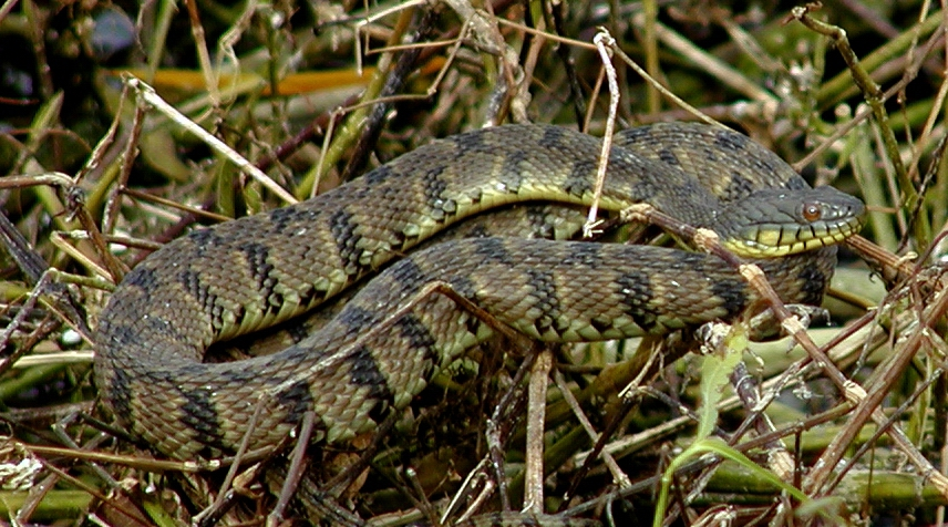 common snakes in Brazos County - diamond water snakes