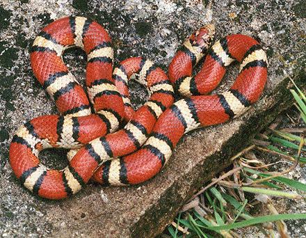 common snakes in Brazos County - milksnakes