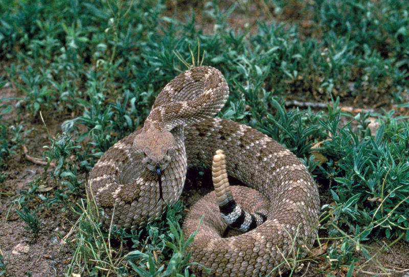 common snakes in Brazos County - rattlesnakes