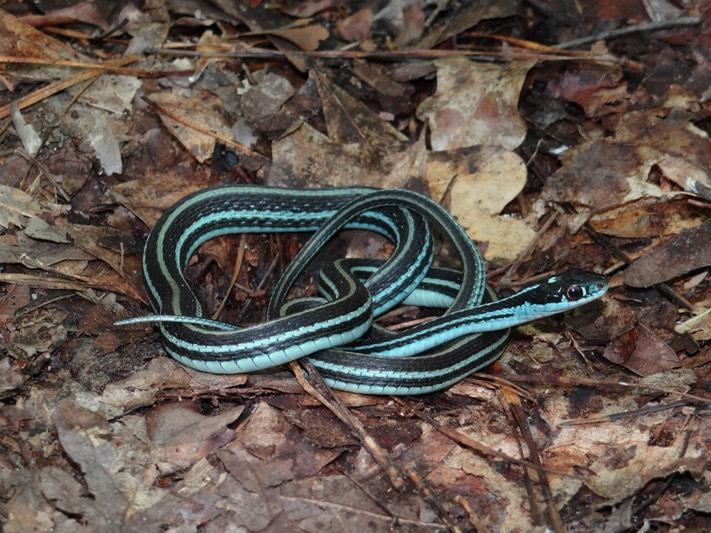 common snakes in Brazos County - western ribbonsnakes