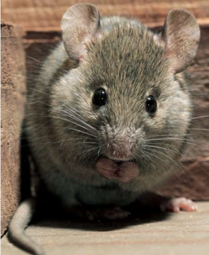 Rodent Infestations - House Mouse