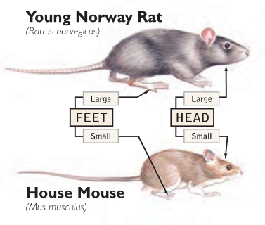 Rodent Infestations - Young Norway Rat vs. House Mouse