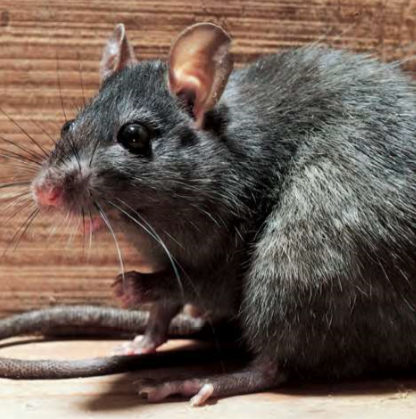 Rodent Infestations - Roof Rat