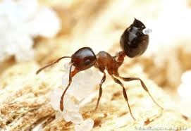 Acrobat Ants vs. Carpenter Ants - Acrobat Ant