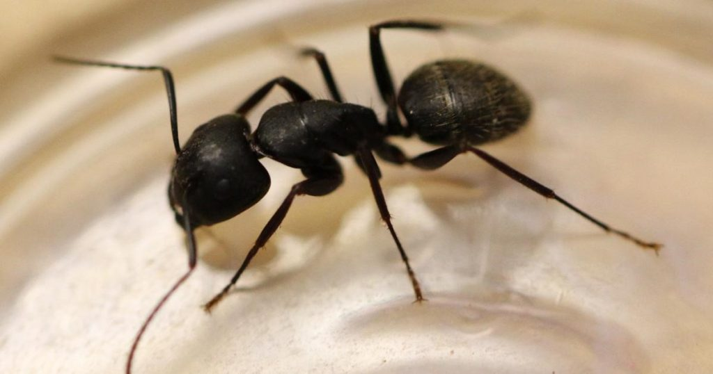 Acrobat Ants vs. Carpenter Ants - Black Carpenter Ant