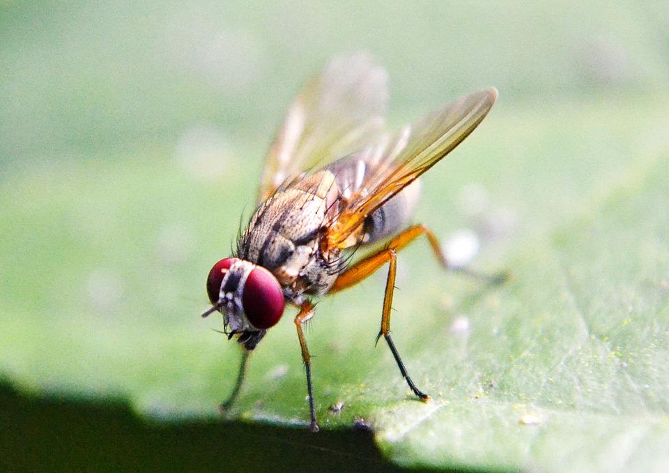 gnats vs. flies